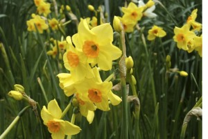A cold winter in the UK has meant the late arrival of daffodils, and scepticism about climate change. Credit: Royal Horticultural Society