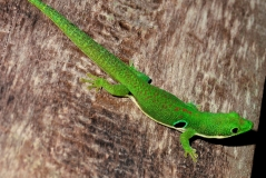 Madagascar is already a hotspot of lizard extinctions, with 21% of local species extinct, and members of the Gekkonidae family (Pictured here: Phelsuma quadriocellata) are currently going extinct. Credit: Ignacio De la Riva