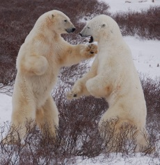Two young male polar bears test each other's strength while waiting for the sea ice of Hudson Bay to freeze. These sorts of interactions and the accessibility of the western Hudson Bay coast, by tundra buggy, have created the most predictable polar bear viewing opportunities anywhere. The shortening of the sea ice season in Hudson Bay, caused by global warming, threatens the continued existence of polar bears in this region, and the amazing viewing opportunities it affords. Steven C. Amstrup, Polar Bears International