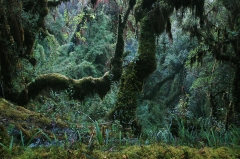 A cloud forest habitat in southern Peru where lizard species are found. Certain lizards in these habitats are at risk of extinction due to climate warming. Credit: Ignacio De la Riva.