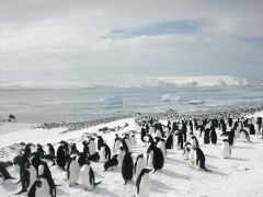 Ice-loving Adélie penguins, once thought to be more at risk than ice-avoiding chinstrap penguins but actually faring better as the climate changes, in Admiralty Bay, Antarctica. Credit: Lenfest Ocean Program