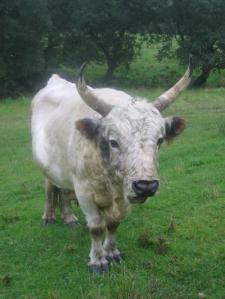 The Chillingham cattle are said to be the only survivors of the wild herds which once roamed freely through the forests of Great Britain. Credit: Sarah Burthe