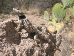 A crevice spiny lizard (Sceloporus poinsettii): widespread local extinctions in spiny lizards have been caused by human-caused climate change, with higher temperatures restricting their movement during the spring breeding season. Credit: Shea Lambert